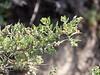 Atriplex spinifera (spiny saltbush) up close.