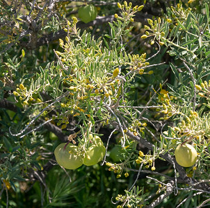 Cleomaceae