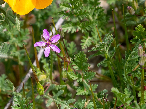 Erodium sp., possibly the common, Eurasian, and invasive weed, E. circulatum (red-stemmed filaree).  I saw these all over.  I did not set out to take a picture of one, but when I decided to include a sample flower picture in this gallery, I had no trouble finding an example among my other flower shots.