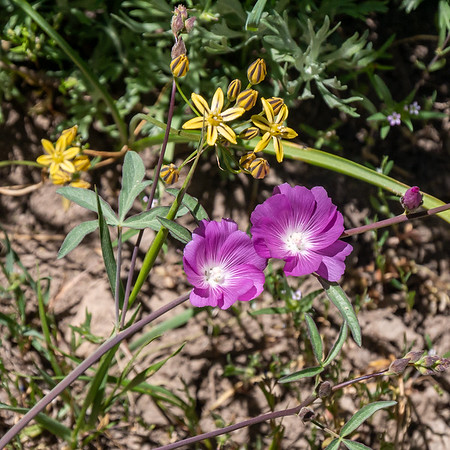 Sidalcea glaucescens (waxy checkerbloom), although I can't totally rule out S. asprella.  Above: Triteleia ixioides (golden Brodiaea).