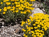 Arnica chamissonis  (Chamisso arnica) maybe?  On the west side now, heading down in the Boulder Creek drainage.