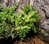 Athyrium distentifolium var. americanum (American alpine lady-fern) at a crossing of Boulder Creek a bit down on the west side.
