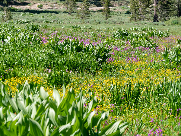 The wet meadow was full of buttercups, shooting stars, corn lilies, and mosquitoes.