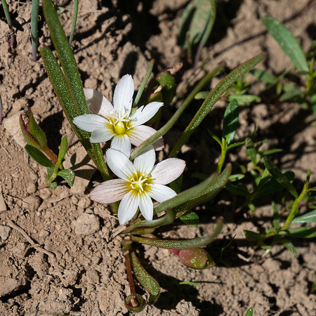 Lewisia pygmaea (alpine Lewisia).  Lower Gardiner Meadow.