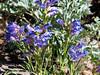 Penstemon speciosus (royal penstemon).  P. laetus (mountain penstemon) is possible too but the flower details lean more towards speciosus.