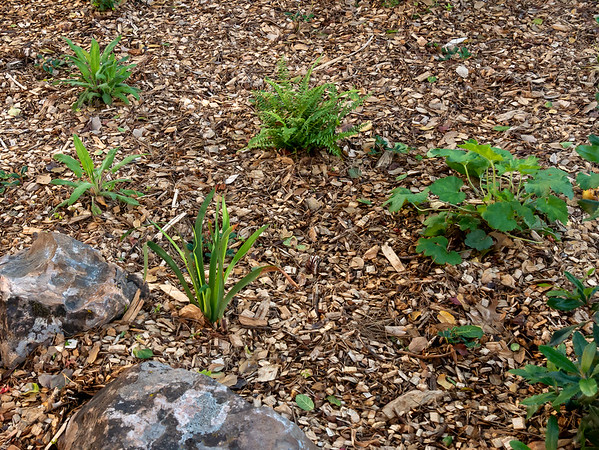 "Douglas Iris, hummingbird sage, island alum root, and sword ferns are also among the repeated ""continuity"" plants on the path back."