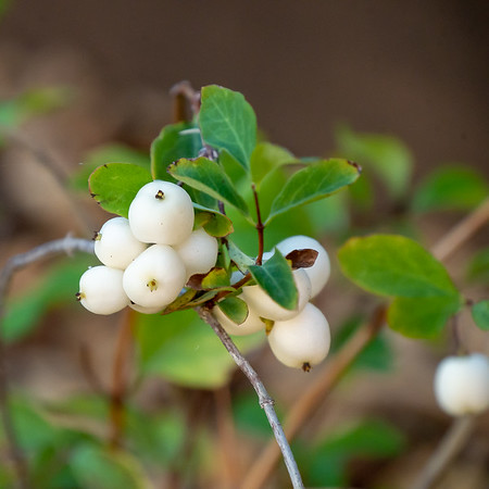 One of the repeats is the snowberry: six total on the walk back.  Berries from these -- plus from the coffeeberries, the toyons, the currant, and maybe the manzanitas and Oregon grape -- should be a late season garden feature.