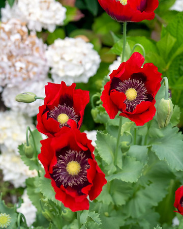 Papaver somniferum selection.