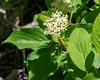 Cornus sericea ssp. sericea (creek dogwood).