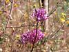 Dichelostemma volubile (twining brodiaea).