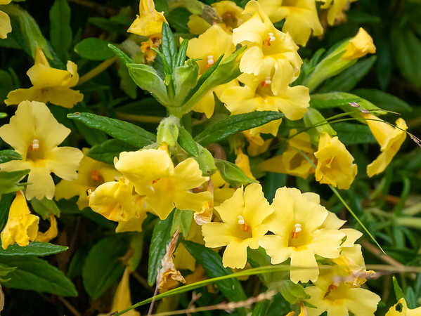 Mimulus aurantiacus var. pubescens (Southern Bush monkeyflower). Undersides of leaves and calyx tubes are hairy.