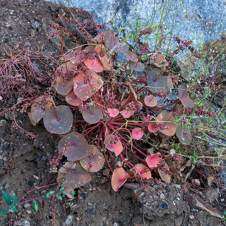 Clayonia sp., provided some leaf color on the rocky walls too.