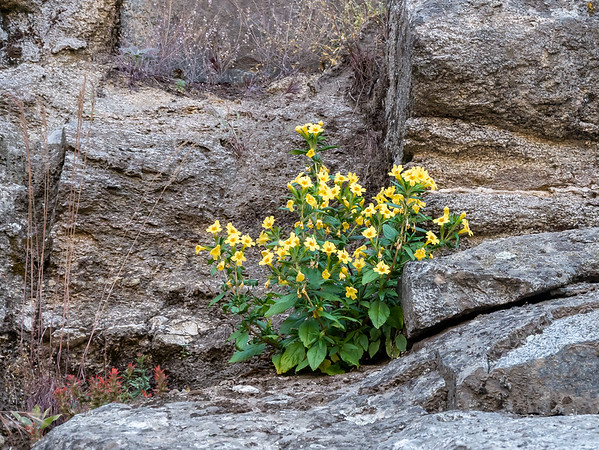 Mimulus aurantiacus var. pubescens (Southern Bush Monkeyflower).  Lots of these in cracks in the rocks.