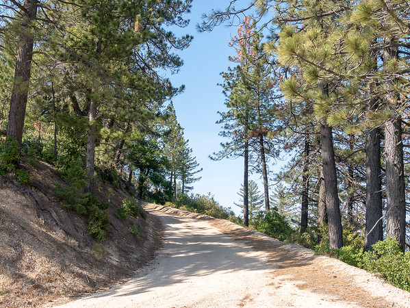 I did drive another side road, this one to the overlook at the top of the Mountain.  Here, at 4100', the road is lined with Coulter pines.