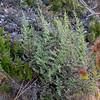 Pellaea andromedifolia (coffee fern).