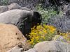 The yellow is Eriophyllum confertiflorum (golden yarrow).  These was very common on today's hike.