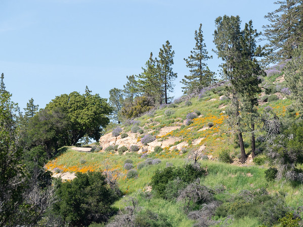 On Figueroa Mountain.  There were sheets of poppies, of course, but I found this a mix of poppies, lupines, Coulter pines, and oaks more interesting.  I'm at 3500' on the road leading to the Catway Picnic Area.  It was a rough road.  I turned around where I took this picture.