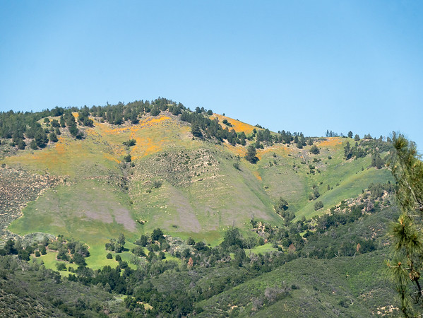 At 2500' I got this fine view of poppies on one of high fields on Zaca Ridge.  The top there is about 4,100.  This is not Figueroa Mountain; it's still out of view to the right.