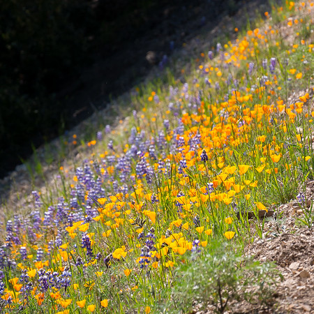 By the side of the road, a bank of more poppies, here with some smaller lupines.
