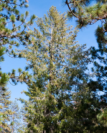 "Pseudotsuga macrocarpa (bigcone Douglas fir).  Sometimes these are called, less appropriately, ""bigcone spruce""."