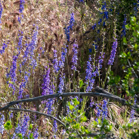 Delphinium parryi (San Bernadino larkspur) was down here too.