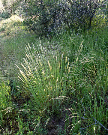 Elymus condensatus (giant rye grass).  I'm far from sure, but this was an attractive bunch grass.