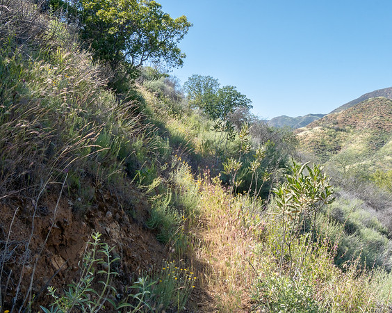 Even after I climbed out of the bottomlands, the trail was  grassy, lightly used, and sometimes easy to lose.