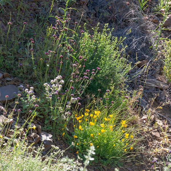 A floral mix on a very rocky hillside.  You can see a bit of that slate here.  Flowers: Phacelia, chia, poppies, a now in-seed member of the mustard family, and a larger green plant I'm less sure of.  Gallium?