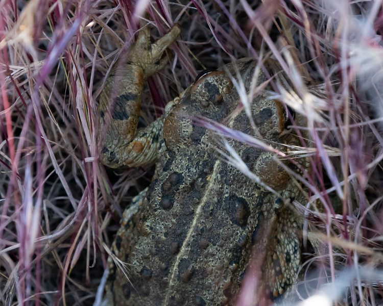 Toad in the grass.  Although there was a small draw nearby, it was dry.  Is this the endangered arroyo toad?  There were signs up at some of trailheads.
