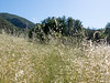 Wild oats aren't native, but there is something rather nice about hiking through grass that's over your head.  I have kinder thoughts toward oats than I do to toward the bromes.