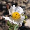 Argemone munita (prickly poppy).