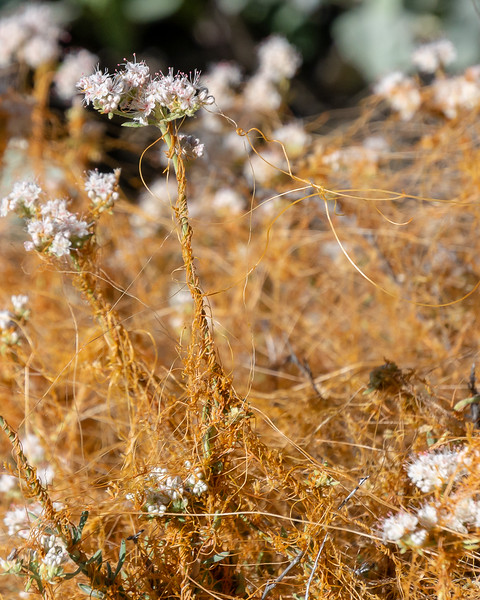 Cuscuta californica (California dodder).  It's parasite that can engulf its hosts, like this unfortunate California buckwheat.  I saw some goodly patches on one stretch of the trail but not elsewhere.