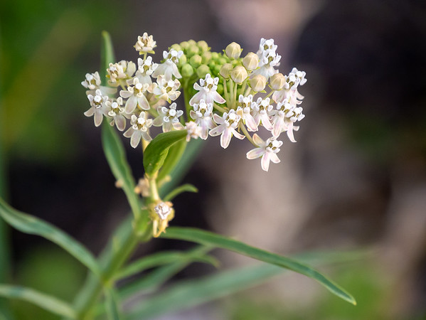 Asclepias fascicularis (narrow-leaved milkweed) on the road between the the Cedar Grove Lodge and the pack station.
