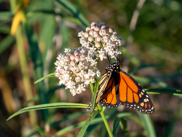 Asclepias fascicularis (narrow-leaved milkweed) is a favored host for the monarch butterfly.