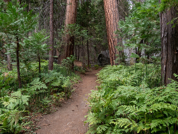 On the trail section near the river: bracken and horsetails under Ponderosa pines and incense cedar.
