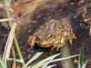 In the tarn, Rana muscosa, the mountain yellow-legged frog.