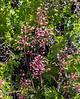 Heuchera rubescens (pink alumroot).