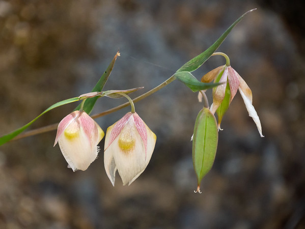 Calochortus albus (white fairly lantern): flowers and developing seed pods.  These were pretty common on the shady hillsides too.