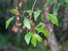 Populus trichocarpa (black cottonwood) at Tassajara Creek Camp.