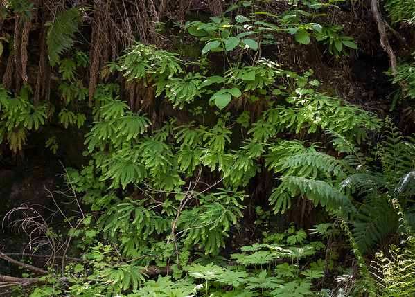 Adiantum aleuticum (five-fingered fern) with some  Woodwardia fimbriata (chain fern) and Petasites frigidus (coltsfoot) below.  All, but especially the Adiantum, speak to the coolness and moistness of this spot.