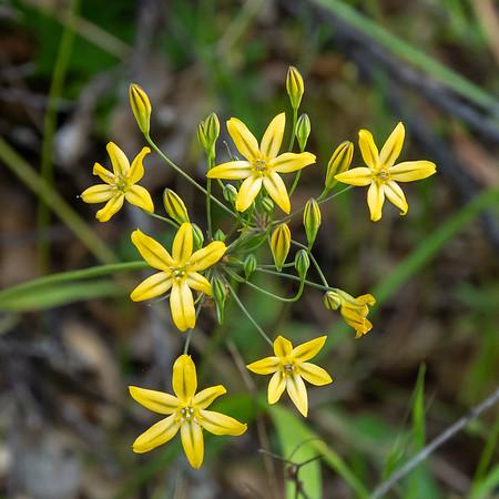 Triteleia ixioides (pretty face, golden brodiaea).