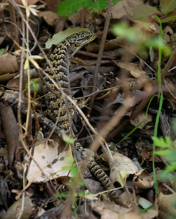 California alligator lizard ( Elgaria multicarinata multicarinata).  I saw several on the trip, but most ran before I could get the camera out.  This one froze for a while.