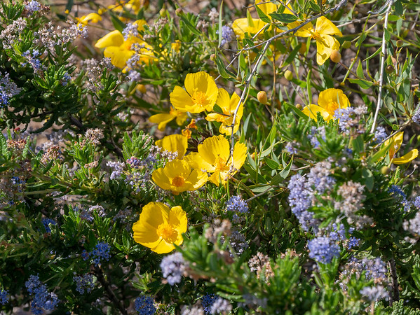 Dendromecon rigida (bush poppy) with some warty Ceanothus.  Lots of bush poppy yesterday and today.