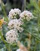 Eriogonum fasciculatum (California buckwheat).