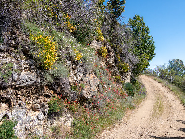The Coast Ridge Road is a road -- open to motor vehicles for residents -- but today it was also a flowery hike.  A hillside of monkeyflower,  native morning glory, paintbrush, and lupines.