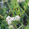 Eriogonum fasciculatum (California buckwheat) leaves.