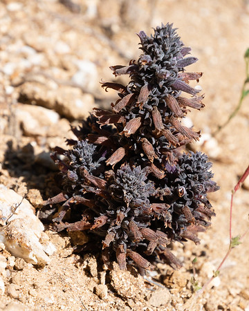Aphyllon [formerly Orobanche] bulbosa (chaparral broomrape).  Just a four inch high pine-cone-like thing on the ground.