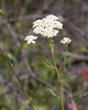 Achillea millefolium (common yarrow).  Lots of this today.  It's so common I never take a picture of it, but this was a fine specimen.