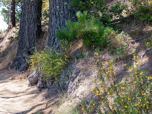 Part of the route goes under some old (planted) Monterey pines.  The day was modestly warm and the air was fragrant with the pine.  Deerweed in bloom below.