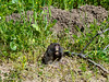 Uppers look fine but a good dentist could clean up those lowers.  Pocket gopher (Thomomys bottae).